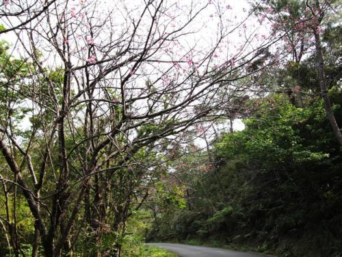 沖縄は咲きが早いので今の時期が見頃でございます!